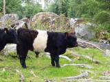 Bytes Belted Galloway ungtjur